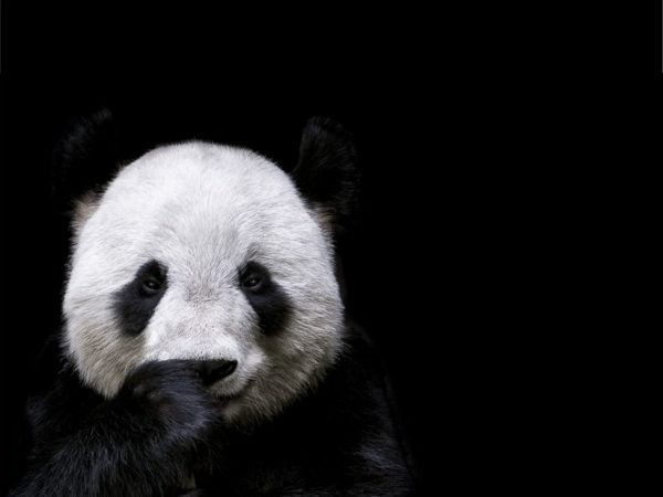 Photographs | PANDA | PICTOCLUB Online Art Gallery