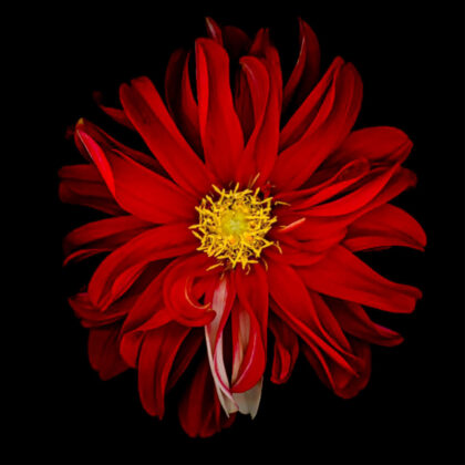 PICTOCLUB Painting - RED FLOWER 3 - Pictoclub Originals
