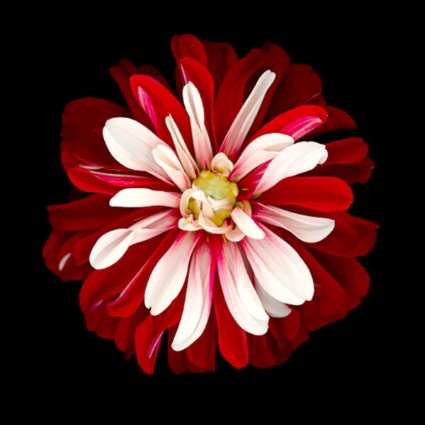 PICTOCLUB Painting - RED FLOWER - Pictoclub Originals