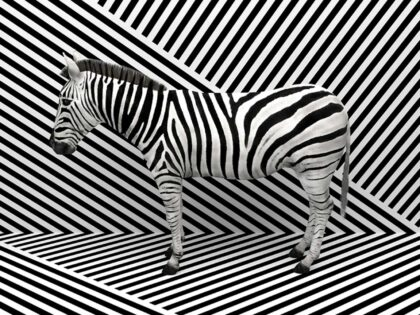 PICTOCLUB Photographs - ZEBRA ILUSIONS - Pictoclub Originals