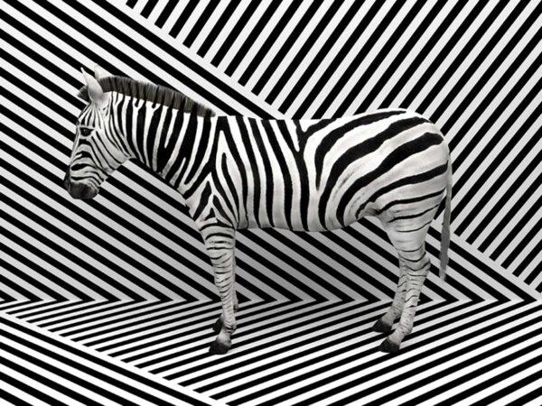 PICTOCLUB Photographs - ZEBRA ILUSIONS - Pictoclub Originals